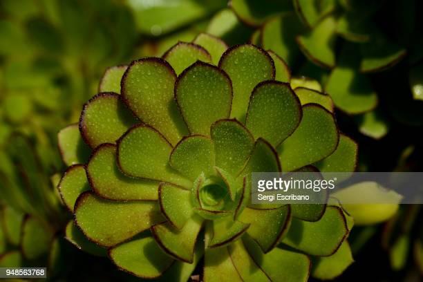 Macro view of a Aeonium arboreum plant