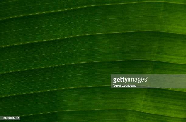 macro view of a leaf of a tree of musa × paradisiaca (or musa paradisiaca).also commonly known as banana tree - tropical tree stock pictures, royalty-free photos & images