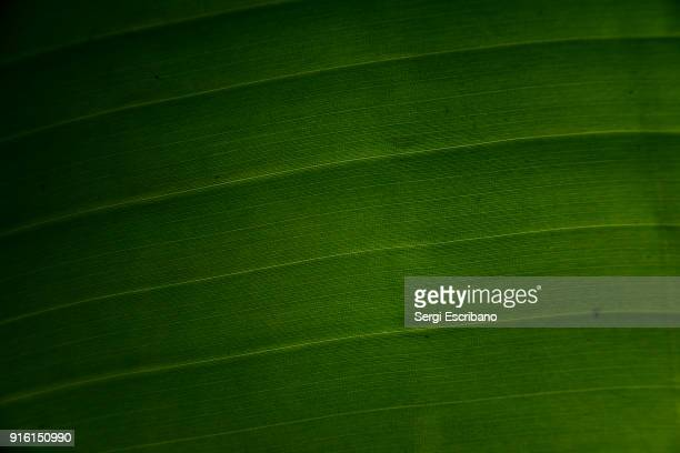 Macro view of a leaf of a tree of Musa × paradisiaca (or Musa paradisiaca).Also commonly known as banana tree