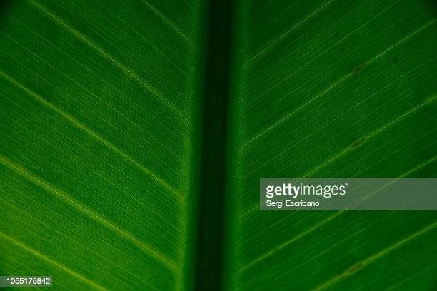 macro view of a leaf of banana tree - photosynthesis stock photos and pictures