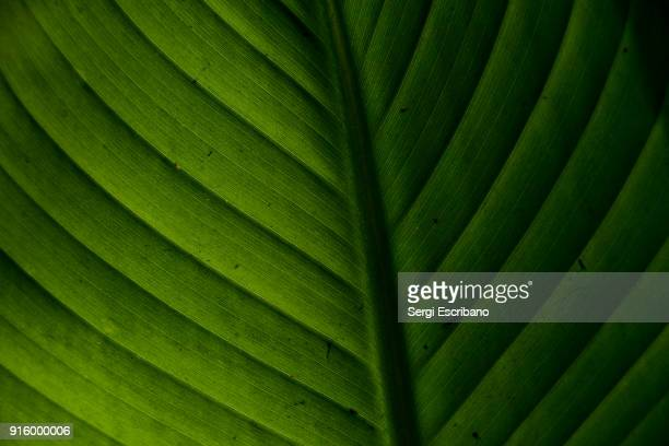 macro view of a leaf of banana tree - ecosystem stock pictures, royalty-free photos & images