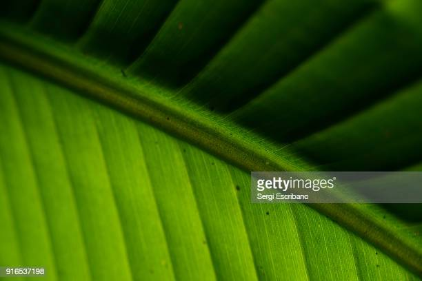 Macro view of a leaf of banana tree