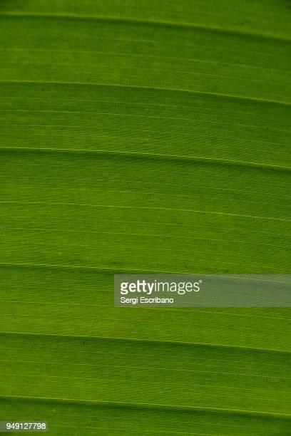 macro view of a leaf of banana tree - geometriestunde stock-fotos und bilder