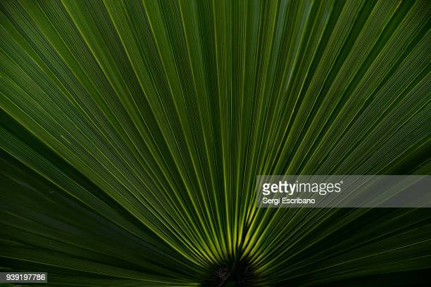 macro view of a palm leaf - geometria fotografías e imágenes de stock