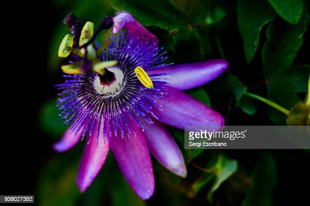 macro view of a purple passion flower - stamen stock pictures, royalty-free photos & images