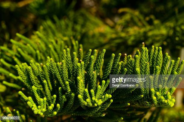 macro view of araucaria heterophylla (norfolk island pine). threatened species - iucn red list stock photos and pictures