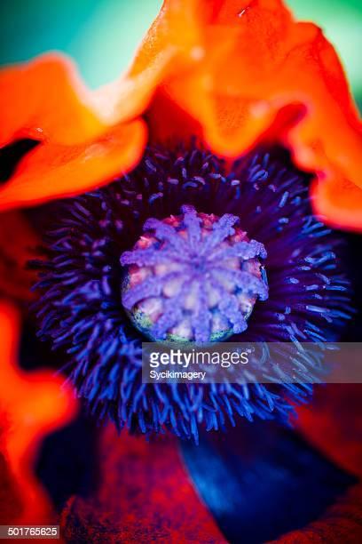macro view of poppy flower