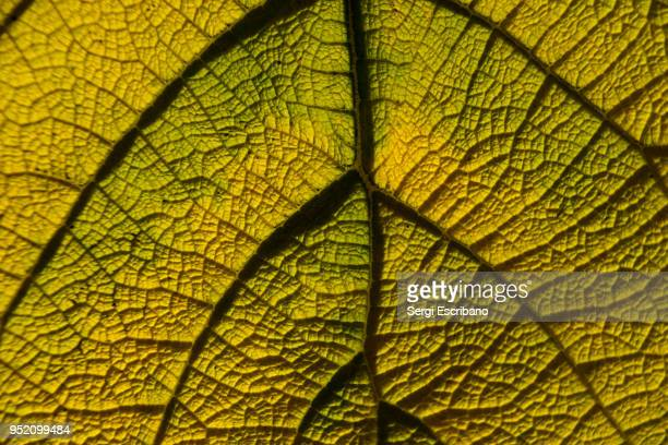 macro view of veins of a tree leaf - photosynthesis stock photos and pictures