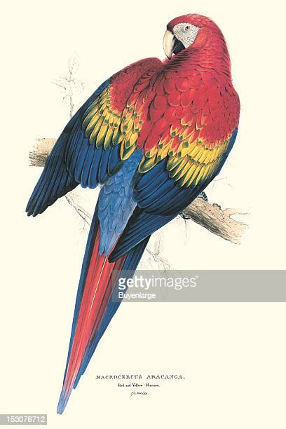 Macrocercus Aracagna or Red and Yellow Macaw 1831 From 'Illustrations of the Family of Psittacidae or Parrots' by Edward Lear