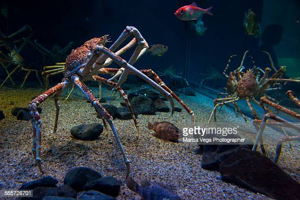 macrocheira kaempferi, the japanese giant crab - spider crab stock photos and pictures