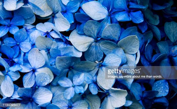 a macrophotography of a blue hyndrangea in all its glory. - blau stock-fotos und bilder