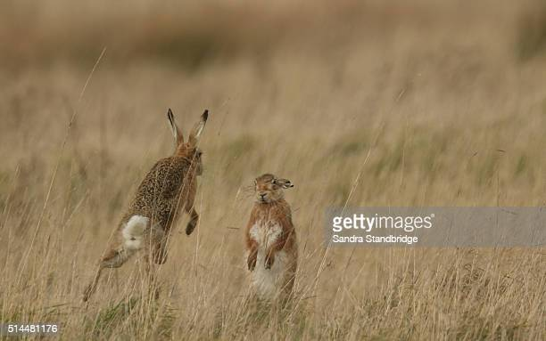 Mad March Brown Hares (Lepus europaeus)