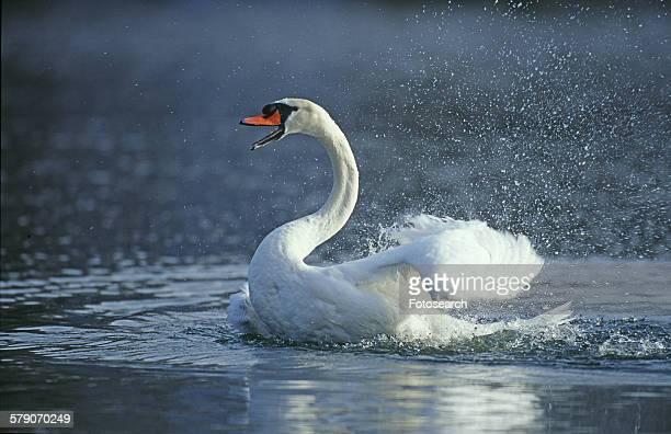Mad swan