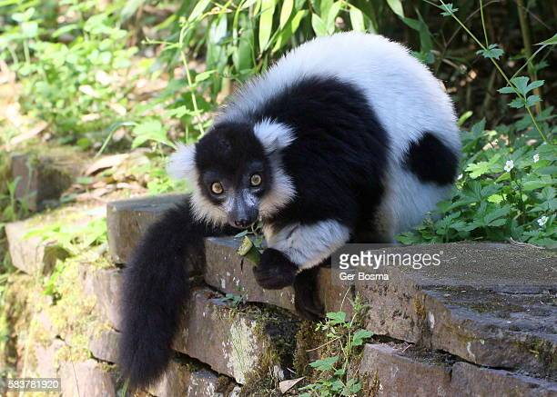 Madagascan Black & White Ruffed Lemur
