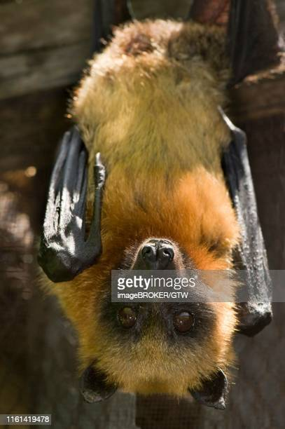 madagascan or madagascar flying-fox or madagascar fruit bat (pteropus rufus) hanging in a barn, vulnerable, iucn 2009, madagascar - flying fox stock pictures, royalty-free photos & images