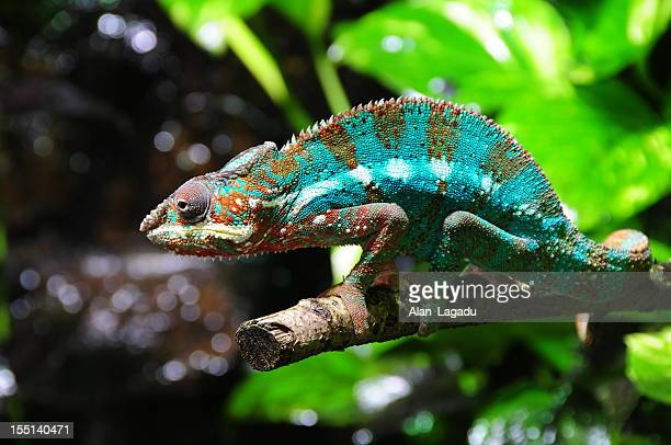 Madagascan Panther Chameleon.