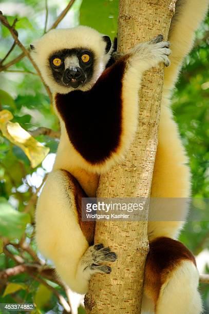Madagascar Anjajavy Coquerel's Sifaka In Tree Closeup