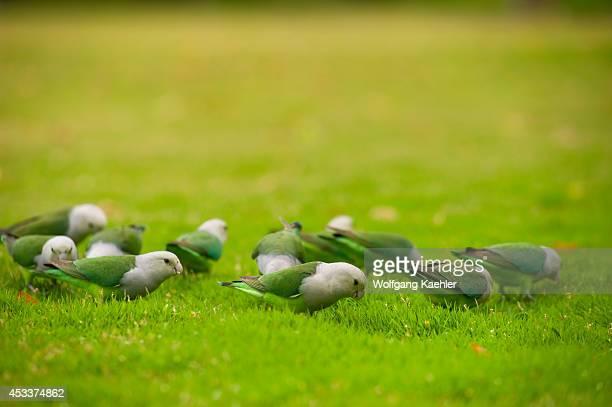 Madagascar Anjajavy Lovebirds On Lawn