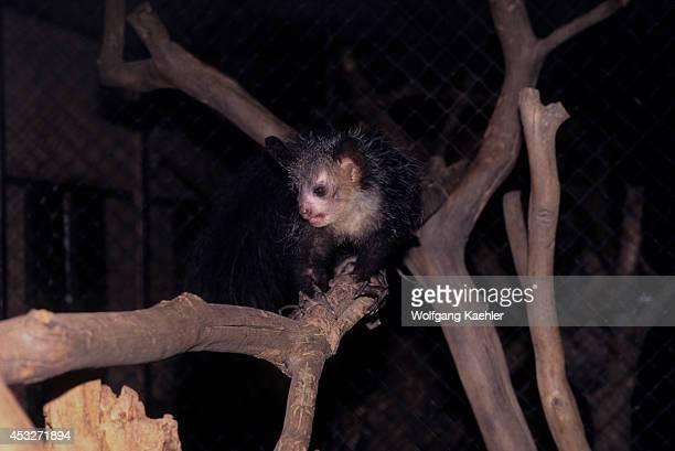 Madagascar Antananarivo Botanical Garden Ayeaye Lemur