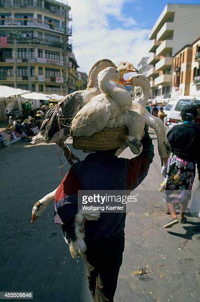 Madagascar Antananarivo Zoma Market Scene Man Carrying Geese