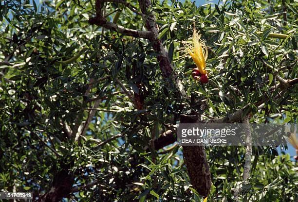 Madagascar Baobab flower MalvaceaeBombacaceae
