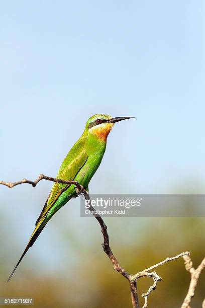 Madagascar Bee-eater, Lake Mburo National Park, Ug
