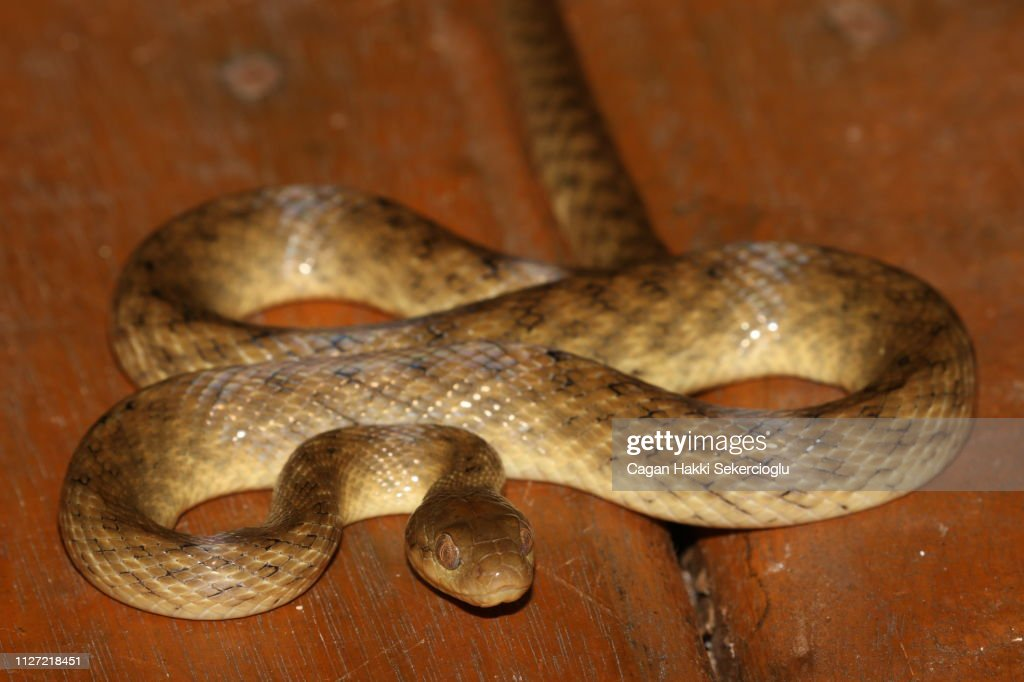 Madagascar cat-eyed snake, Madagascarophis colubrinus, curled up on the floor of a forest cabin : Stock Photo