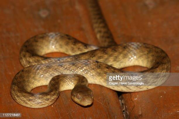 Madagascar cat-eyed snake, Madagascarophis colubrinus, curled up on the floor of a forest cabin