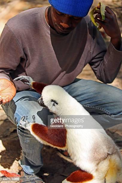 マダガスカル:コクレルシファカ(キツネザル)供給されている