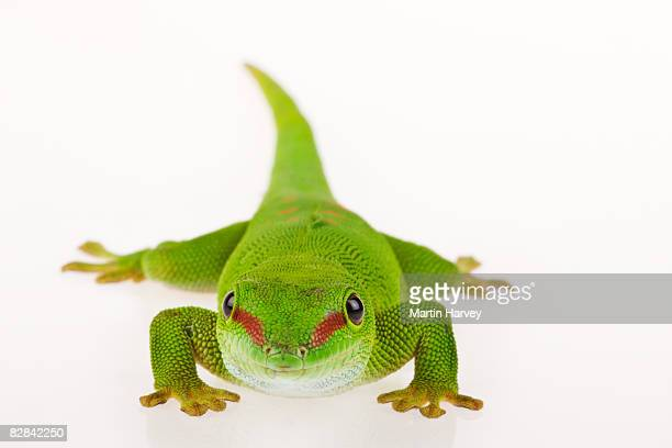 madagascar day gecko against white background. - geco foto e immagini stock
