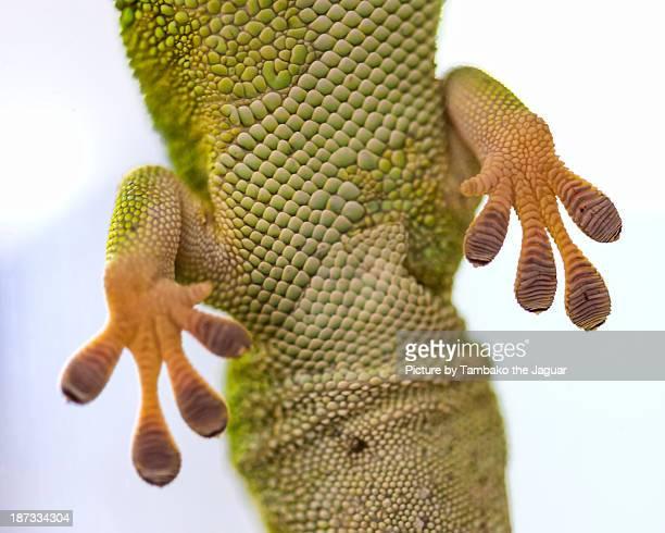 Madagascar day gecko from below
