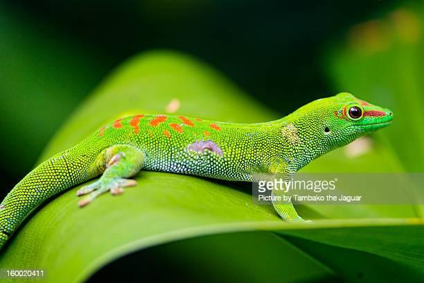 Madagascar day gecko on the leaf