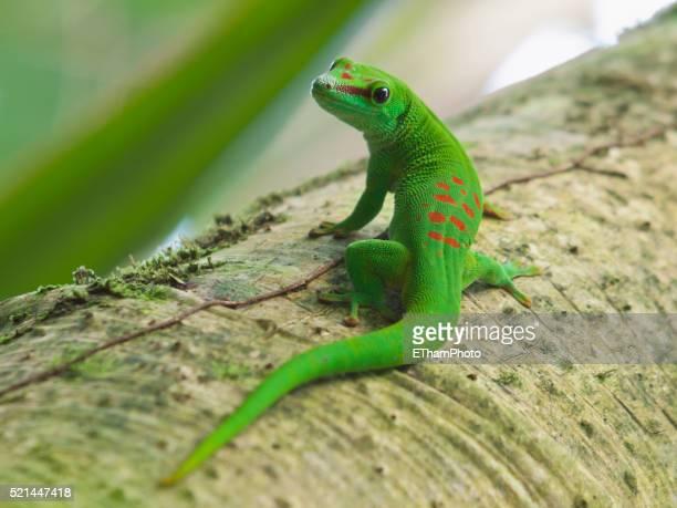 madagascar day gecko - geco foto e immagini stock