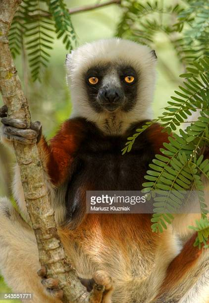 Madagascar Diademed Lemur portrait