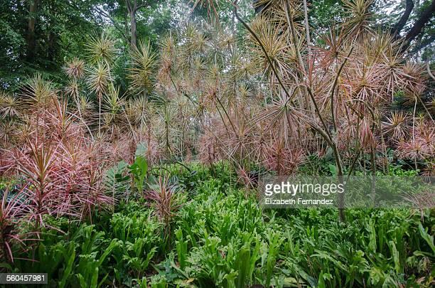 madagascar dragon tree - marginata stock pictures, royalty-free photos & images