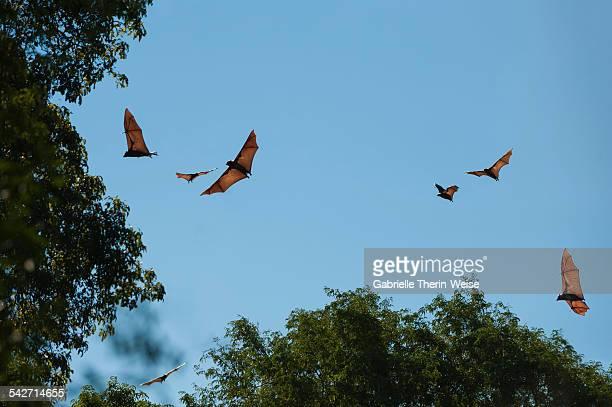 Madagascar flying fox