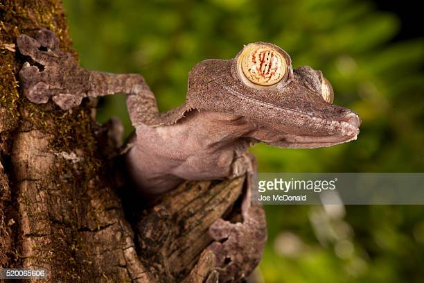 madagascar fringed leaf-tail gecko, uroplatus fimbriatus, climbing up a tree. native to madagascar, africa, controlled situation. - uroplatus fimbriatus stock pictures, royalty-free photos & images