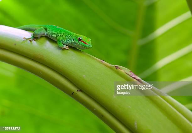 Madagaskar-Großkopfgecko