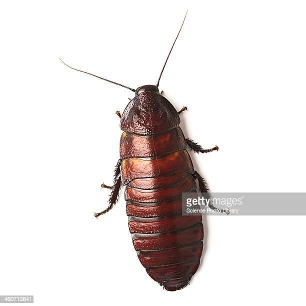 madagascar hissing cockroach - cockroach stock photos and pictures