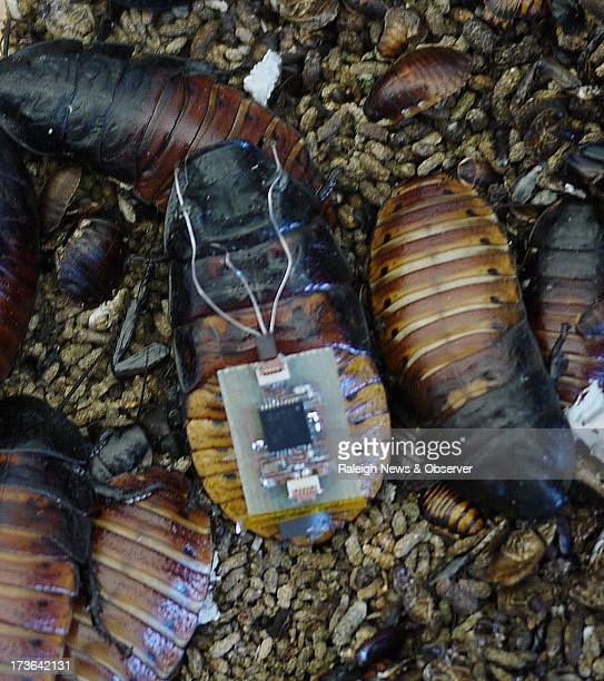A Madagascar hissing cockroach wearing a backpack that allows it to be remotely and automatically directed sits among a cockroach colony in Alper...