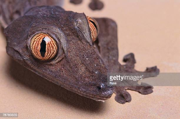 madagascar leaf-tail gecko - uroplatus fimbriatus stock pictures, royalty-free photos & images