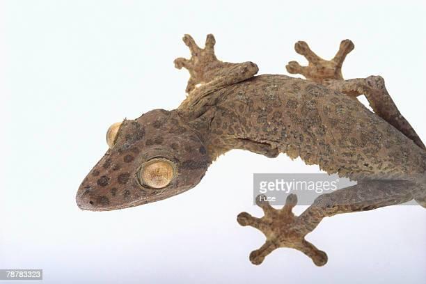 madagascar leaf-tail gecko - geco de cola plana fotografías e imágenes de stock