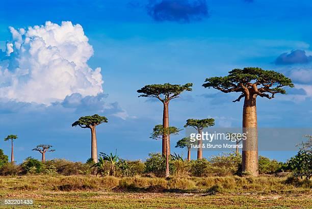 Madagascar, Morondava, baobab trees
