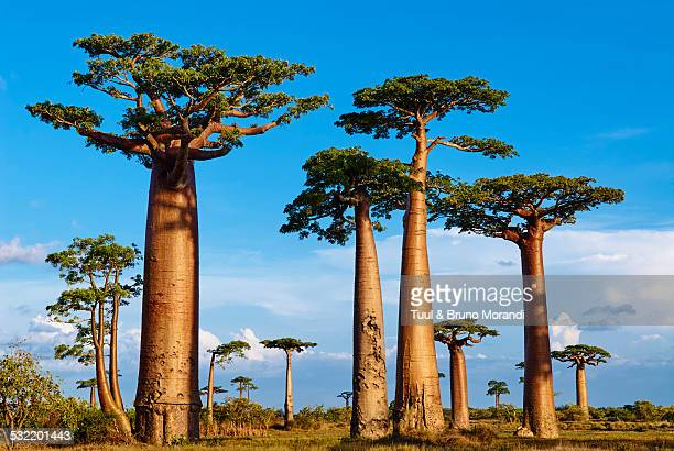 madagascar, morondava, baobab trees - madagascar fotografías e imágenes de stock