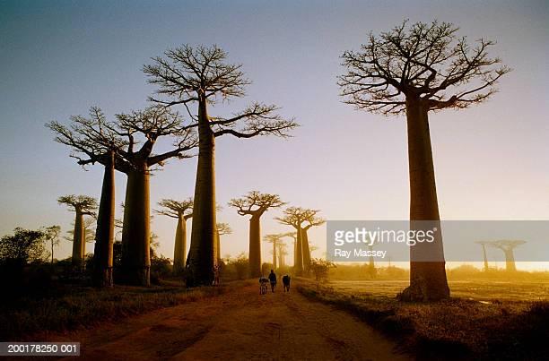 Madagascar, Morondava, road through Boab Trees, sunrise
