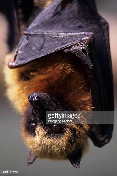 Madagascar Near Moramanga Mandraka Fruit Bat