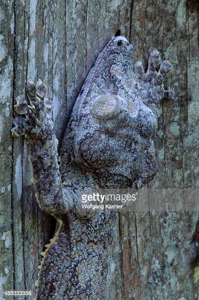 Madagascar, Near Moramanga, Mandraka, Leaf-tailed Gecko, Close-up .