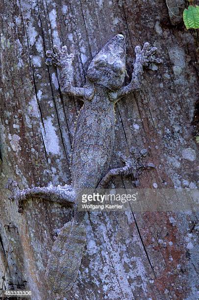 Madagascar, Near Moramanga, Mandraka, Leaf-tailed Gecko .
