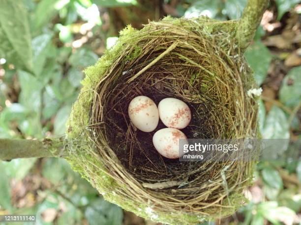 madagascar paradise flycatcher nest met eieren - dierennest stockfoto's en -beelden