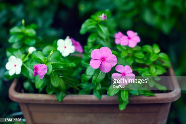 madagascar periwinkle in planter - flowering plant stock pictures, royalty-free photos & images